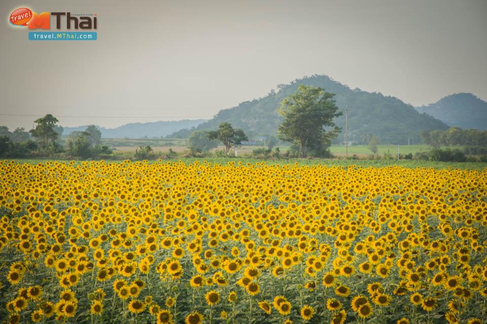 sunflowers_field_lopburi20