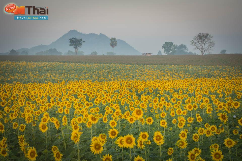 sunflowers_field_lopburi29