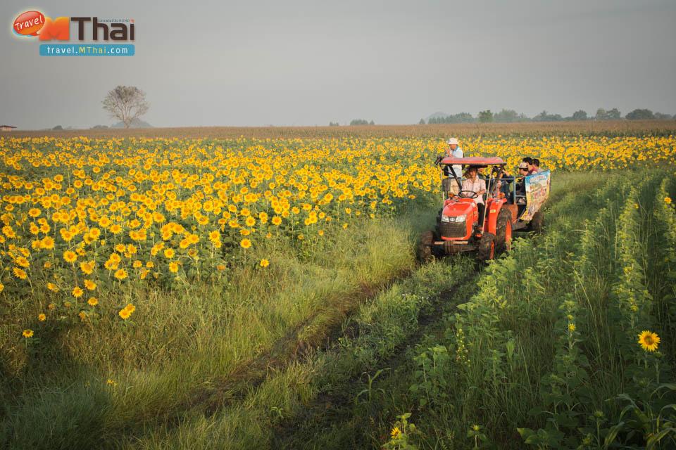 sunflowers_field_lopburi9